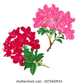 Branches  pink and red flowers rhododendrons