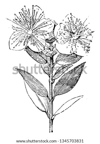 Branchlets Myrtus Communis Typically 610 Cm Stock Vector Royalty