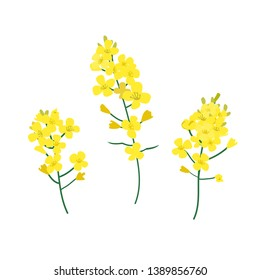 Brassica napus, rapeseed, colza, oil seed, canola vector illustration. The concept of rapeseed oil or honey. Flat vector illustration isolated on white background