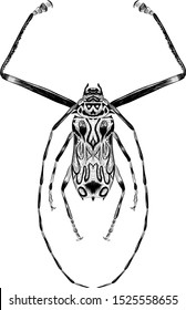 Brazilian long legged harlequin beetle black and white