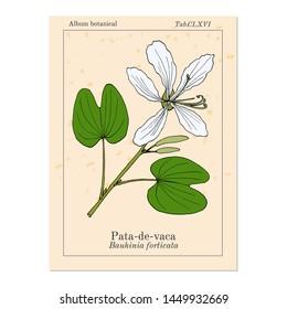 Brazilian orchid tree, or pata-de-vaca (Bauhinia forficata), medicinal plant. Hand drawn botanical vector illustration