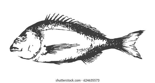 Bream fish, Sparus aurata. Hand drawn vector