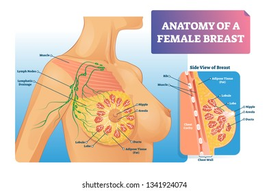 Breast anatomy vector illustration. Labeled medical female organ structure. Infographic diagram with side view of chest. Internal healthy ducts, lobe, nipple, areola, lymph and muscle closeup scheme.