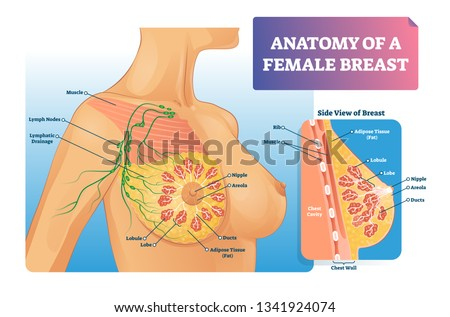 Breast Anatomy Vector Illustration Labeled Medical Stock Vector