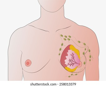 breasts and lymph nodes