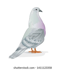 Breeding bird white pigeon  domestic breeds sports bird on white background vintage   vector  animals illustration for design editable hand draw