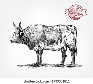 Breeding cattle. American bull. vector sketch on white background