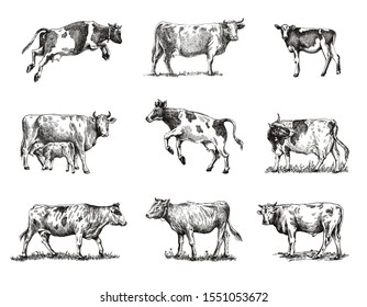breeding cow. animal husbandry. sketches on a grey background