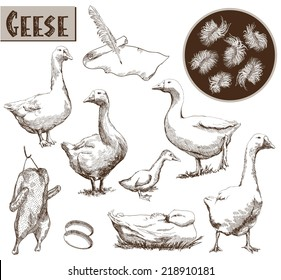 breeding geese. set of vector sketches. Hand drawn illustrations