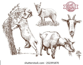 breeding goats. Hand drawn sketches on a gray background