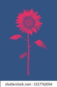 Bright red engraved vintage drawing sunflower illustration isolated on deep blue background