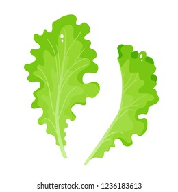 Bright vector illustration of colorful lettuce. Cartoon organic vegetable isolated on white background used for magazine, book, poster, card, menu cover, web pages.