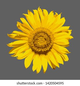 Bright yellow inflorescence of sunflower on a white background. Realistic Helianthus Flower