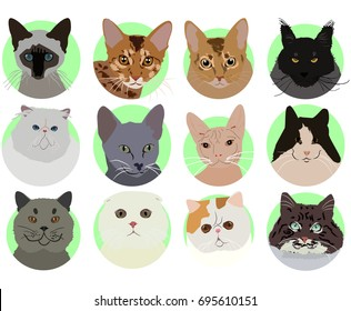 british cat, scottish, siamese, abyssinian, exotic, persian, sphinx, russian blue cat, ocelot, norwegian, ocicat, maine coon, cats.