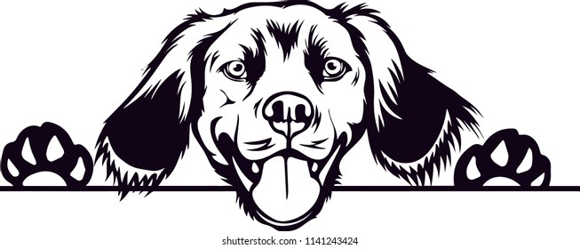 Brittany Spaniel dog breed pet