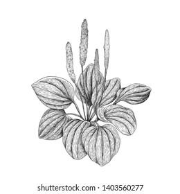 Broadleaf plantain - plantago maior black and white engraving illustration