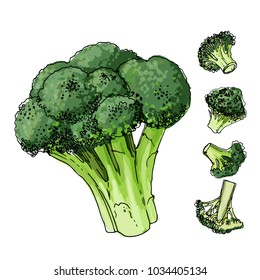 Broccoli cabbage painted with a line on a white background. A sketch of food. Vector drawing of spices
