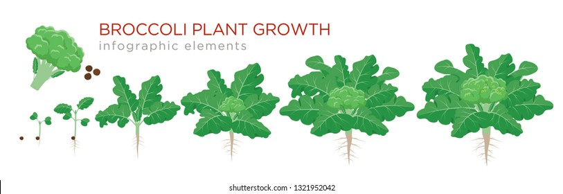 Broccoli plant growth stages infographic elements. Growing process of broccoli from seeds, sprout to mature plant with roots, life cycle of plant isolated on white background vector flat illustration.