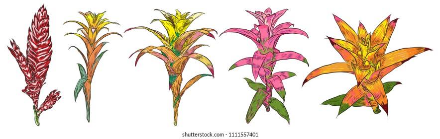 Bromelia vivid set flower. Exotic jungle forest fresh plant. Botanical illustration in color. Vector.