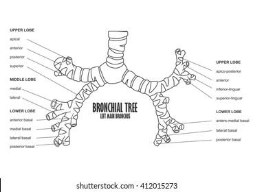 Bronchial Tree Images, Stock Photos & Vectors   Shutterstock
