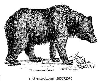 Brown bear, vintage engraved illustration. Natural History of Animals, 1880.