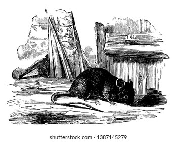 Brown Rat also referred to as common rat, vintage line drawing or engraving illustration.