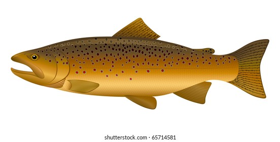 "Brown Trout (Salmo trutta) freshwater fish. ""Full compatible. Created with gradients."""