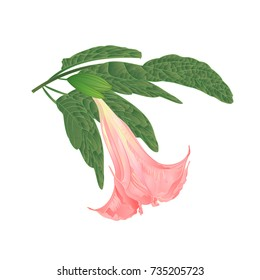 Brugmansia suaveolens medicinal flower pink Angel's Trumpet on a white background vintage vector illustration editable hand draw
