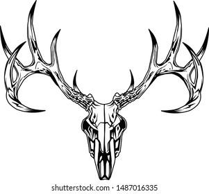 Buck deer skull with antlers.