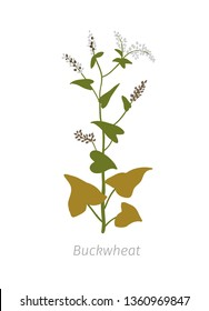 Buckwheat Fagopyrum Polygonaceae. Agriculture cultivated plant. Green leaves. Flat color Illustration clipart on white background.