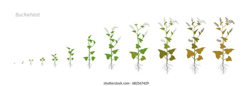 Buckwheat Fagopyrum Polygonaceae Growth stages vector illustration