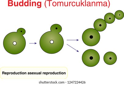 Budding - asexual reproduction