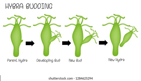 budding in hydra ppt file