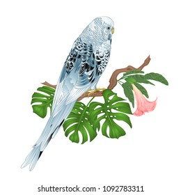 Budgerigar, blue pet parakeet or shell parakeet or budgie home pet with philodendron and Brugmansia on a white background vintage vector illustration editable hand draw