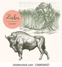 Buffalo - American Bison with forest.  Engraved vector illustration