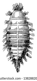 Buffalo Moth where the larva of the carpet beetle, vintage line drawing or engraving illustration.