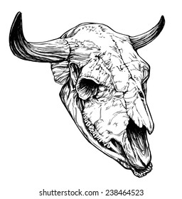 Bull / aurochs skull with horns on white background