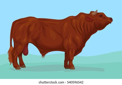 bull of limousin breed
