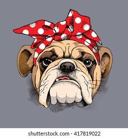 Bulldog portrait in a headband. Vector illustration.