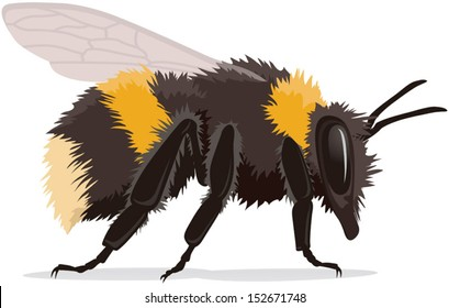 Bumble bee, realistic vector illustration isolated on white background with shadow. Fully adjustable and scaleable.