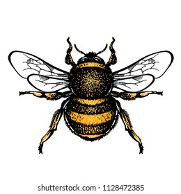 Bumblebee Hand drawn vector illustration. Vector drawing of Bumlebee. Hand drawn insect sketch isolated on white. Engraving style bumble bee illustrations.