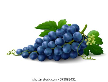 Bunch of blue grapes with leaves and flower isolated on white background. Vector illustration.