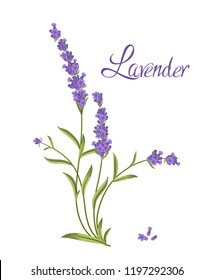 Bunch of flowers violet lavender, vector illustration for packaging products containing lavender