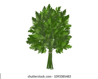 bunch of fresh parsley, coriander or coriander on a white background. Realistic style. Vector illustration.