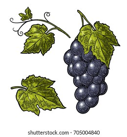 Bunch of grapes with berry and leaves. Black and color vintage engraving vector illustration for label, poster, web. Isolated on white background