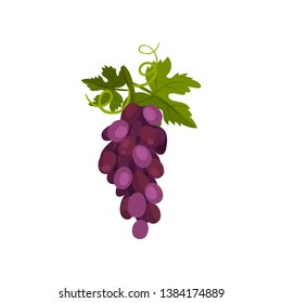 Bunch of grapes on a vine with a leaf. Vector illustration.
