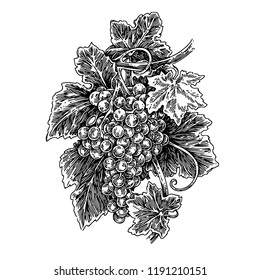 Bunch of grapes. Sketch. Engraving style. Vector illustration.