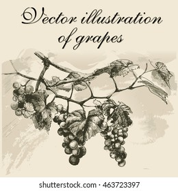 Bunch of grapes. Vector drawing ink.