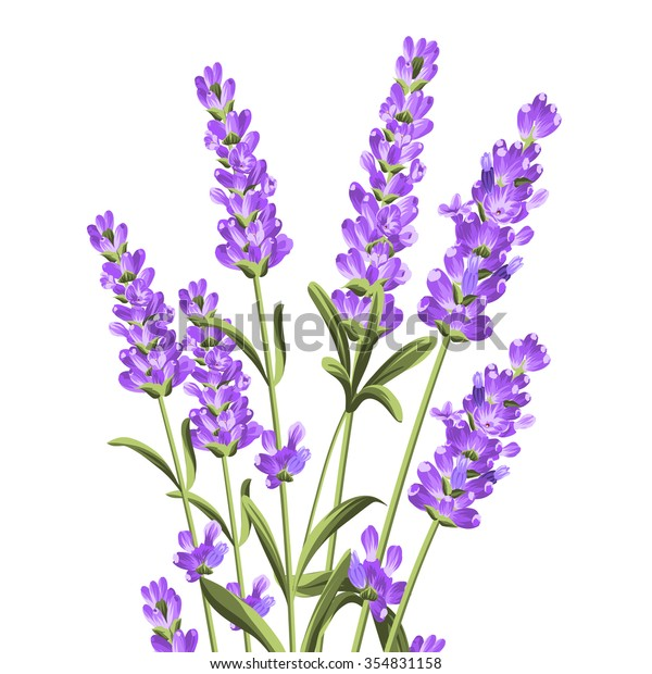 Bunch Lavender Flowers On White Backgroundbotanical Stock