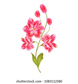 Bunch pink  Lily Alstroemeria stem flower with buds and leaves  closeup isolated vintage vector illustration for design editable  hand draw
